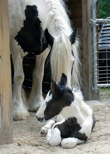 Lovely black and white Gypsy Vanner mare and her pinto foal.                                                                                                                                                      More