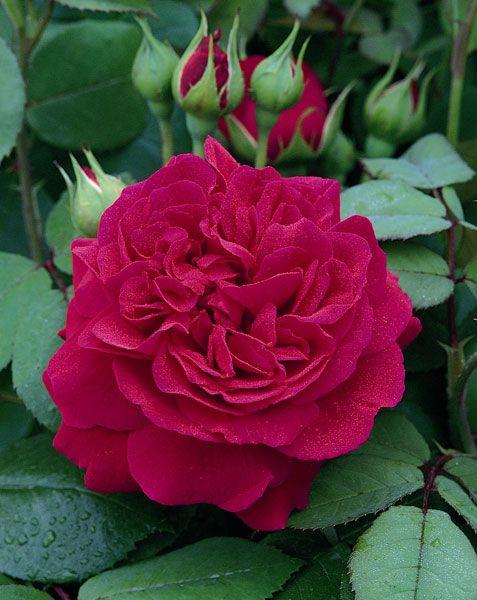 Rosa Tess of the d'Urbervilles ('Ausmove')
