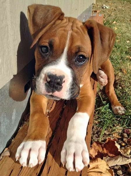 Good Boxer Chubby Adorable Dog - 127c607fe924dcdbd0addef1dcf691d6--cute-boxer-puppies-boxer-pups  Trends_19121  .jpg