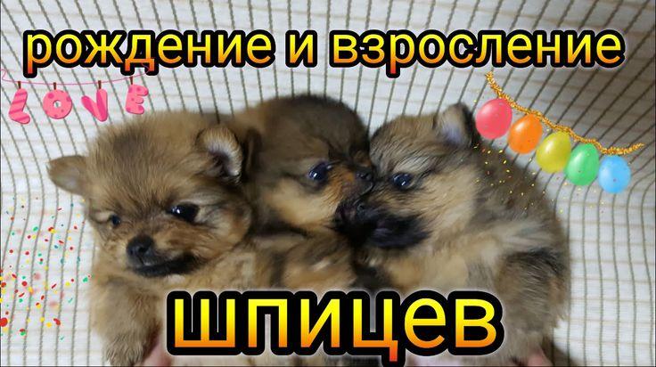 Роды шпица дома и взросление щенков.