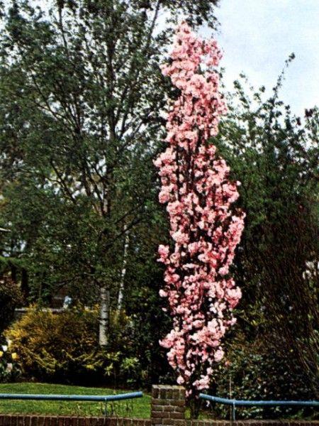 Japanse zuilsierkersPrunus serrulata Amanogawa Prunus serrulata Erecta De Japanse zuilsierkers (Prunus s Amanogawa) is een zeer mooi slank zuilvormig boompje dat uiteindelijk 8 meter hoog kan worden en hooguit 1 meter breed. Eind april verschijnt er een zee aan lichtroze halfgevulde bloemen, die ook nog eens een aangename geur afgeven. De Japanse zuilsierkers (Prunus serrrulata Amanogawa) is een erg geschikte boom voor de kleine ruimte, zo kun je ook in een kleine tuin toch nog hoogte…