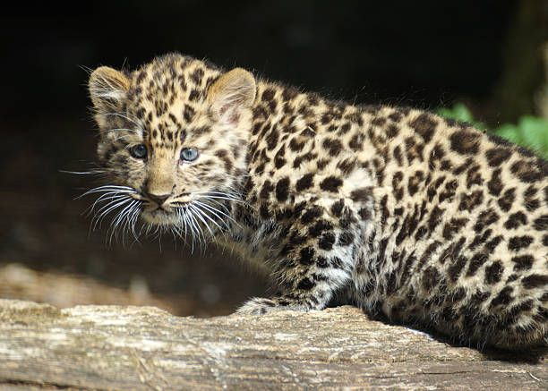Amur leopard cubs pictured enjoying their day at Marwell Zoo on September 1 2016 in Winchester England THESE leopard cubs are only nine weeks old but...