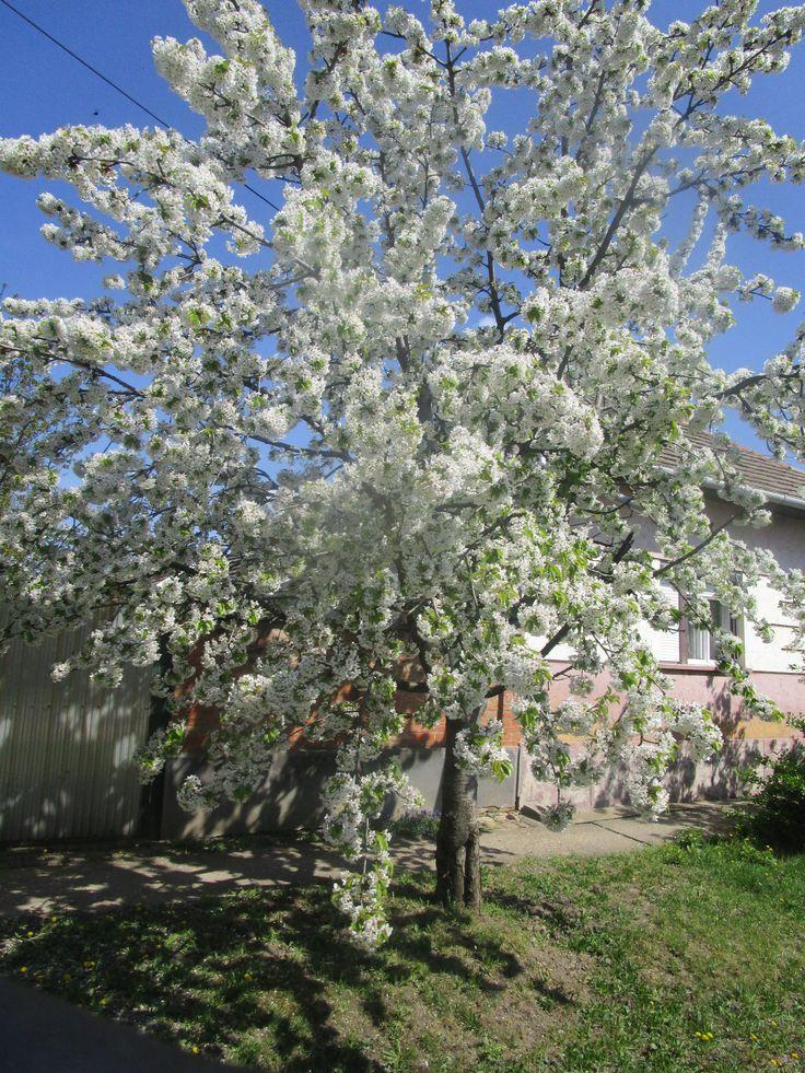 Germezdorfi Cseresznyefa virágba borult. 2017.04.09