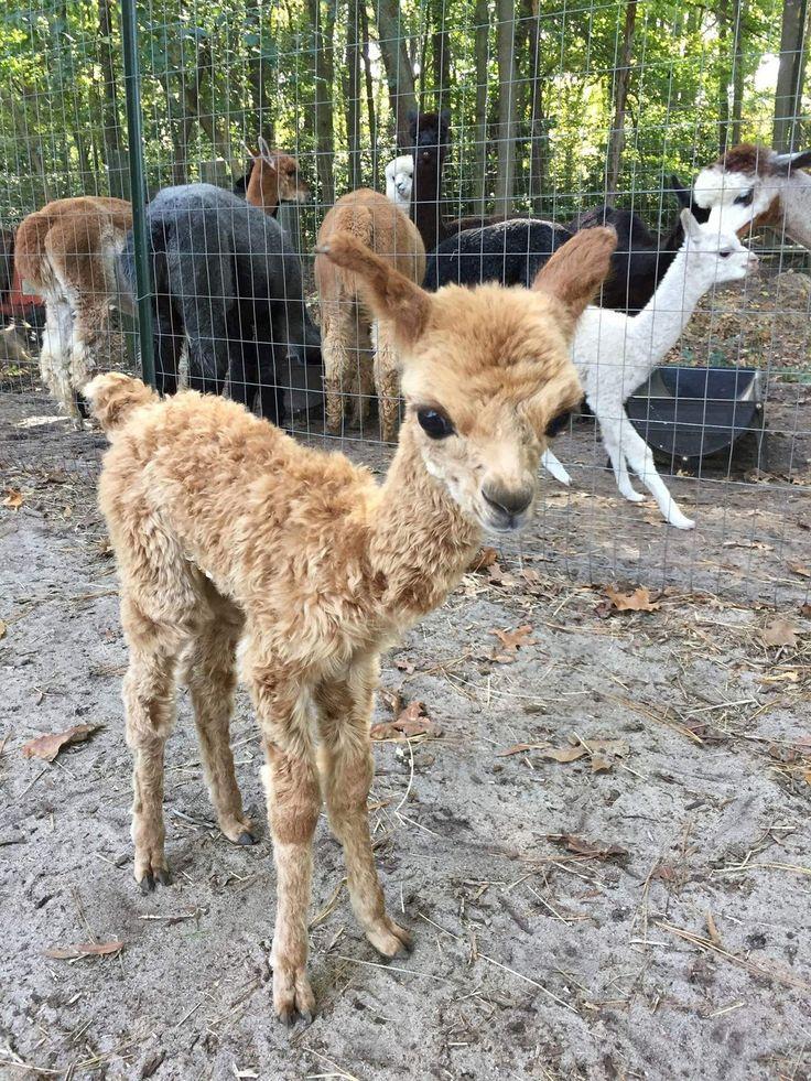 Baby llama gets a haircut
