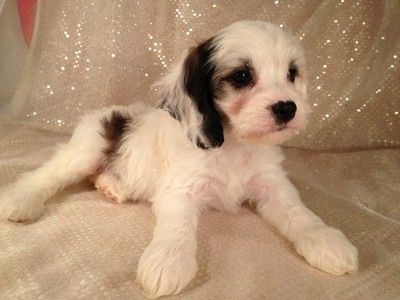 Sable and White Cockapoo for sale Puppies born August 2, 2012