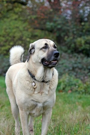 Anatolian Shepherd  Dogs - These are fiercely protective dogs and will be threatened by anything other than the family they live with!