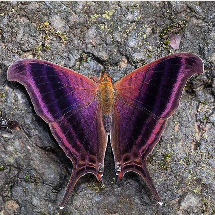 Daggerwing butterfly - INCREDIBLE! - TOTALLY SPECTACULAR, BOTH IN COLOURING & PATTERN!! - GLORIOUS! ⭕️
