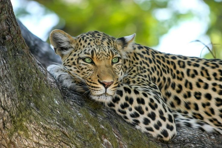 Some people believe that the bones and whiskers of leopards can heal sick people. Many leopards are killed each year for their fur and body parts and this is one reason why the leopard is an endangered animal.