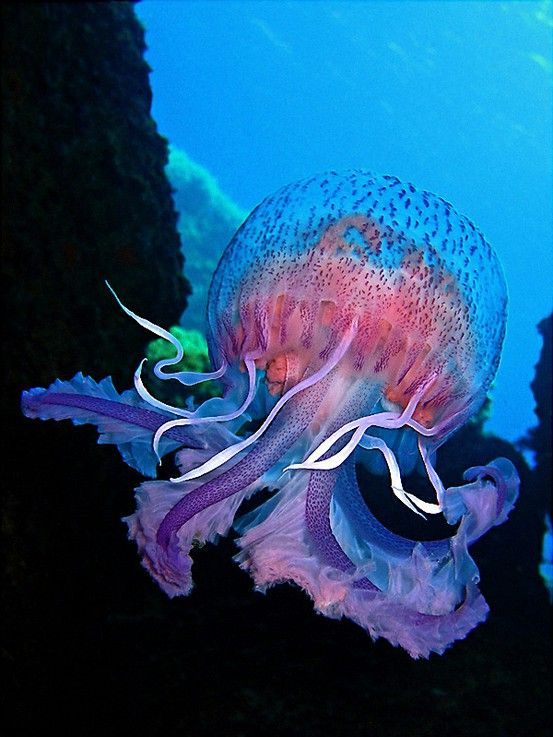 Amazing Jellyfish has the unique colors of the flowers and the ocean water.  This beautiful creature is floating in the ocean near their home.