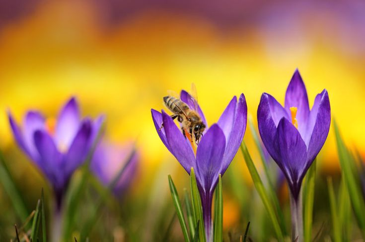 crocus-flowers.jpg (800×530)