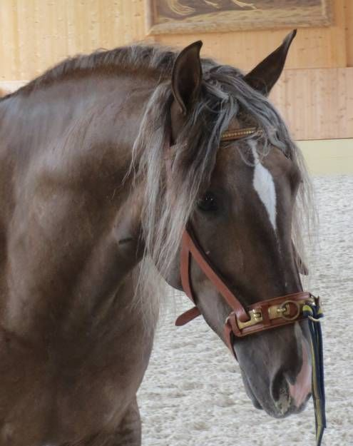 What a Beauty! Schloss Amerang in Germany: HENGSTE-STALLIONS-SEMENTALES http://www.schlossamerang.de/107/