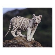 White Tigers are not a separate breed of Tiger, but are Bengal Tigers that respond to a recessive gene for white pigmentation. It is not an albino....