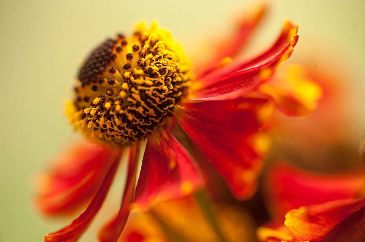 Rudbeckia Macro by Jenny Rainbow