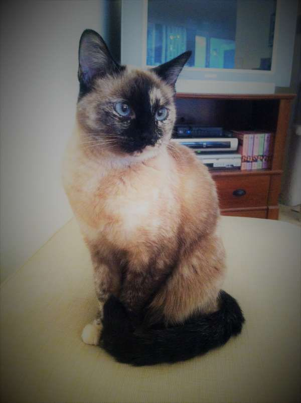 Daisy is an adoptable Siamese searching for a forever family near Ventura, CA. Available through Southern California Siamese Rescue.
