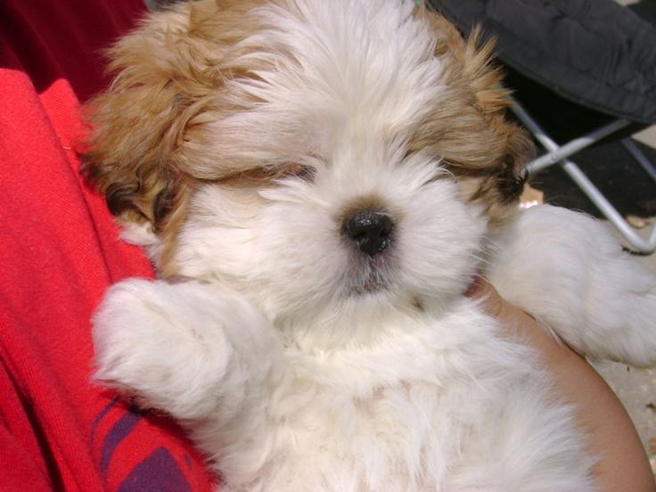 Sleeping Shih Tzu puppy - shh!