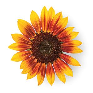 'Moulin Rouge' | Sunflower Gardening Tips - Southern Living Mobile