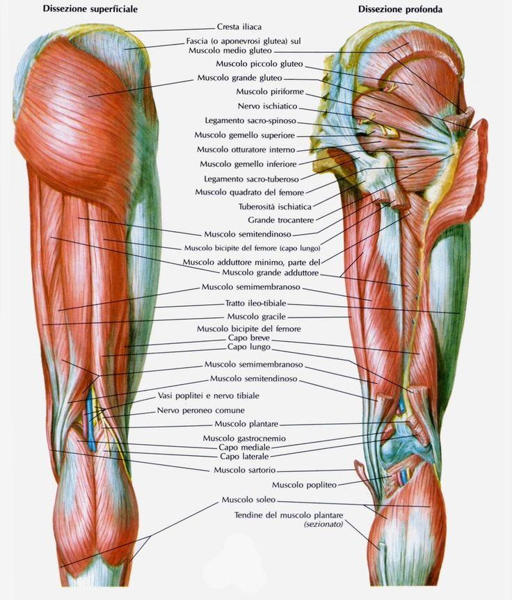 Muscolo bicipite femorale