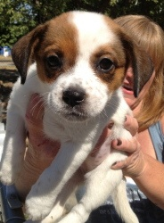 Cabbie is an adoptable Beagle Dog in Bakersfield, CA. Cabbie is an adorable 10 week old, 4-5lb Beagle X pup who was dumped in a trash can with her brother, Patches! These sweet little babies were take...