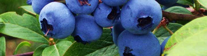 Γνωρίστε το Μύρτιλλο... και τις ευεργετικές ιδιότητες του !!Όπως όλα τα φρούτα…