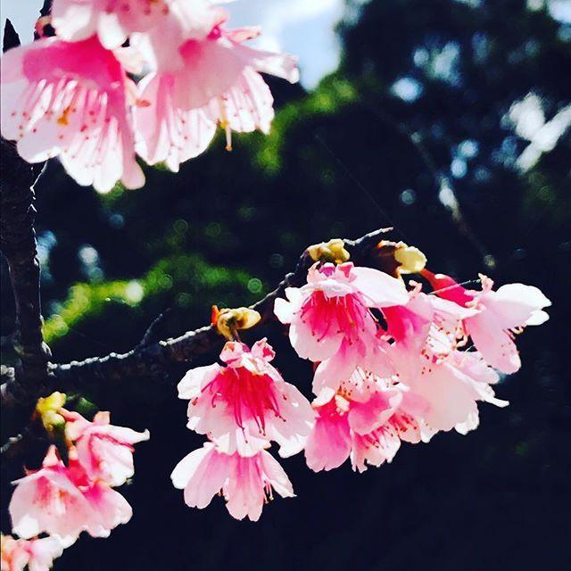 【pizzeriaukauka】さんのInstagramをピンしています。 《本部桜祭り開催中です。瀬底島までドライブがてら遊びに来て下さいね〜( ^ω^ )そろそろ満開かな〜? 手作り薪窯で焼く本格ナポリピッツァ pizzeria UKAUKA 11:30〜16:00 火曜日定休 0980-47-4774 沖縄県本部町瀬底2281-1  #ukauka #瀬底島 #pizza #薪 #ナポリピッツァ#薪釜#薪窯#ヤンバル#沖縄#ランチ#瀬底大橋#瀬底#オーシャンビュー#ハンドメイドアクセサリー#lunch#桜#寒緋桜#絶景》
