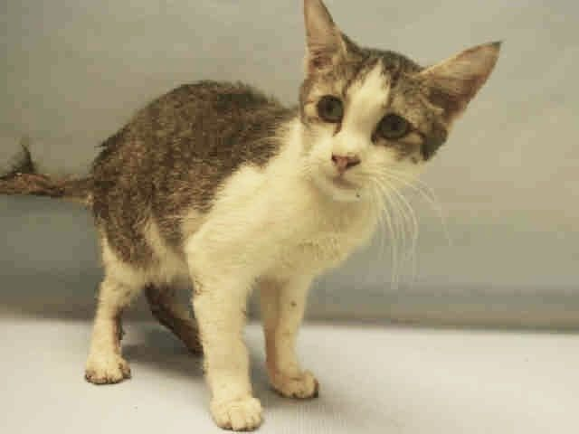 CHINJI  - A1096391 - - Manhattan  Please Share:***TO BE DESTROYED 11/18/16***BEGINNER-6 MONTHS OLD, SPAYED,  DIARRHEA, RINGWORM, NEEDS RESCUE! -  Click for info & Current Status: http://nyccats.urgentpodr.org/chinji-a1096391/