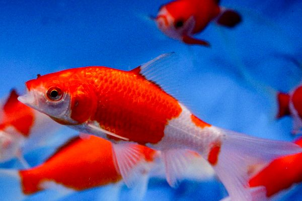 43 best images about goldfish pond on pinterest raising for Goldfish pond depth