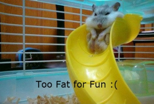 TO CUTE?! I think so: Laughing, I'M Fat, Giggles, Hamsters, Funny Stuff, Humor, Funny Animal, Smile, Hilarious