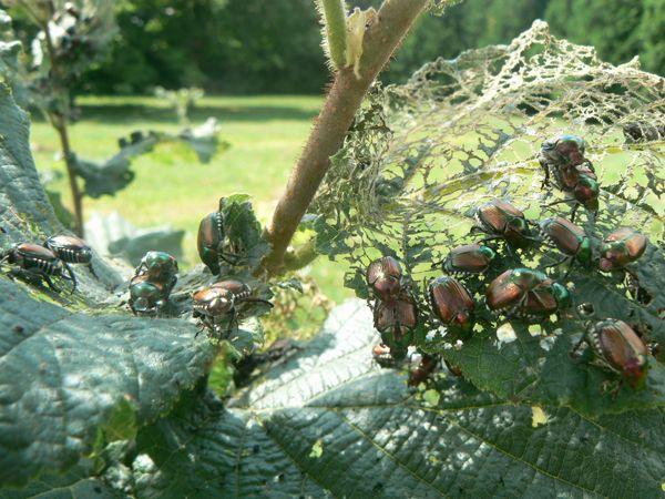 Figure 1 - Conglomérat de scarabées japonais sur une feuille de noisetier.