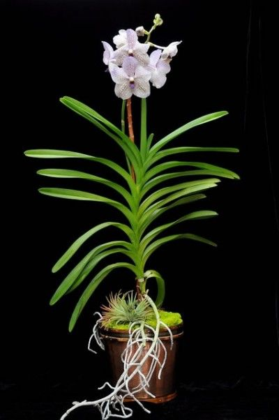 17 best images about orchid on pinterest rare orchids orchid flowers and purple orchids - Vanda orchid care ...