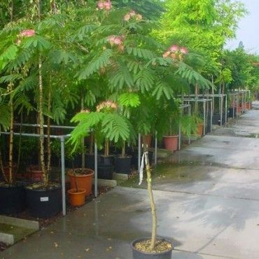 Perzische Slaapboom op stam (Albizia julibrissin 'Ombrella' )-directplant