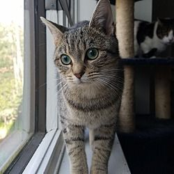Cherry Hill, New Jersey - Domestic Shorthair. Meet Selma, a for adoption. https://www.adoptapet.com/pet/20318993-cherry-hill-new-jersey-cat