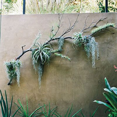 Hang air plants  Hang air plants Don't let tillandsias just linger on your desk. Attached to the tails of Spanish moss (another kind of air plant) and draped over a branch, they become art. Design: Dustin Gimbel; secondnaturegardendesign.com.