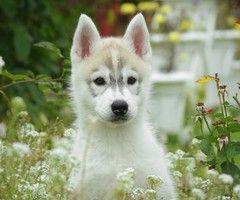 Puppy, dog, husky, grass, flowers, field - HD Desktop Wallpapers