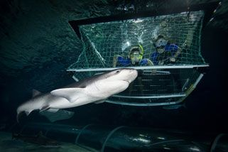 Shark Snorkeling in a Cage, Auckland | RedBalloon