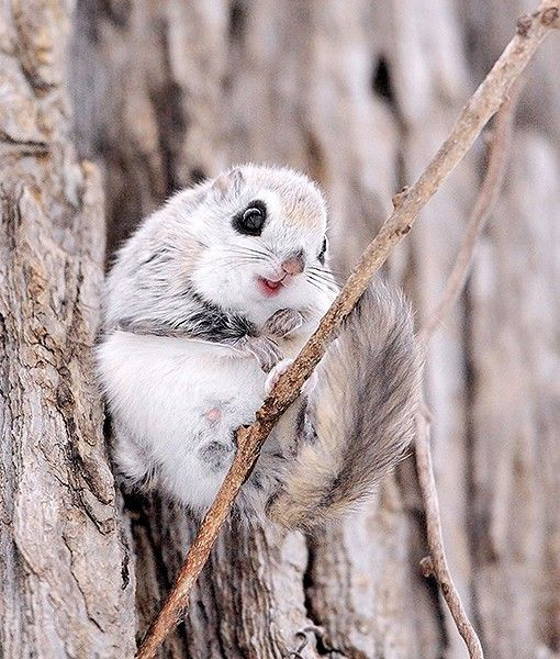 how to tell how old a flying squirrel is