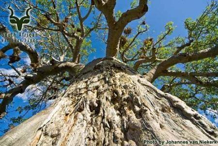 KNP - Mopani - Baobab Tree