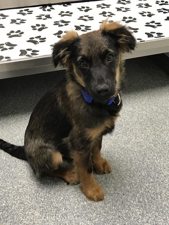 My 4 Month Old German Shepherd Putting On A Brave Face At The Vets