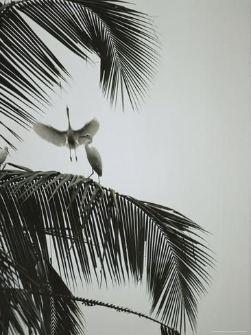 Egrets in a Palm Tree, Bali, Indonesia Fotografiskt tryck