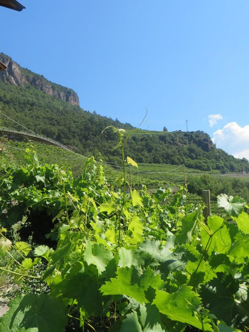 Our vineyards above Bolzano at the Kristplonerhof