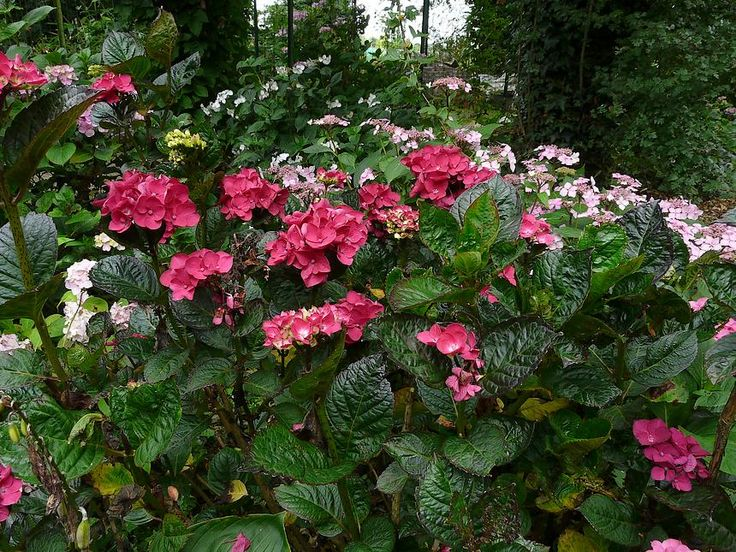 Hydrangea macrophylla 'Merveille Sanguine' - one of the very best hydrangeas. The whole plant has an extra dose of redness from the flowers to the stems and leaves. The leaves also have good autumn colour.