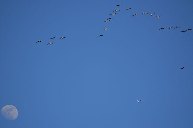 The snow goose migration