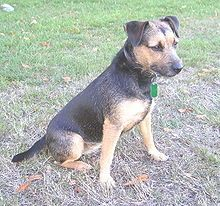 Black and Tan Patterdale Terrier - England
