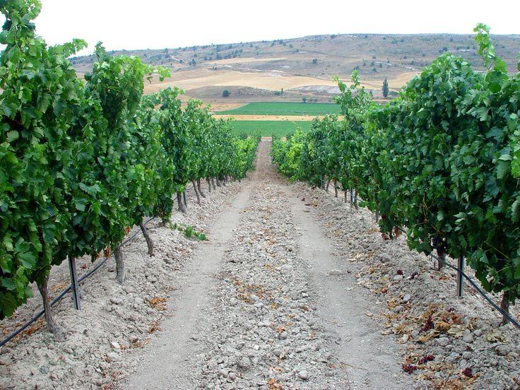 Protos cuenta con unas 600 hectáreas de viñedo propio a las que se suman 500 hectáreas más de otros viticultores de la zona que se son proveedores asiduos. Los viñedos son centenarios por lo que la calidad de su uva, seleccionada a mano, está garantizada.