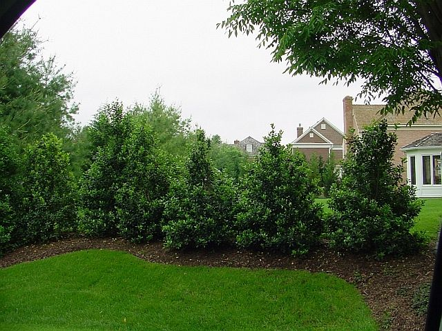 Screen Of Nellie Stevens Holly Trees Shrubs And Privacy