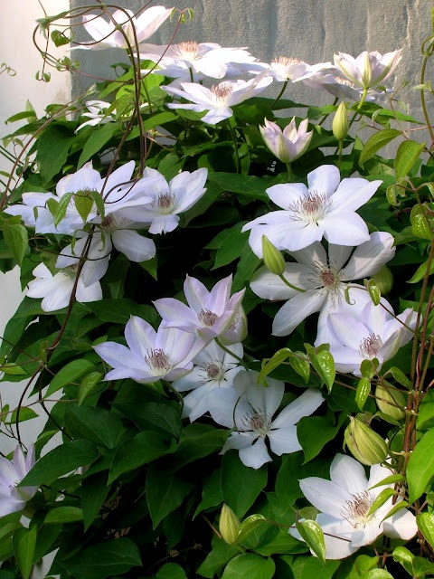 Loi Thai, Tone on Tone's lavender tinged clematis turns a pure white