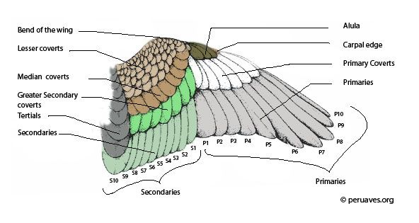 Parts Of A Bird Flight And Tail Feathers Flight Feathers Bird Tail Feathers