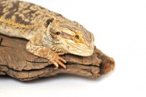 Everything you need to know about a Bearded Dragon