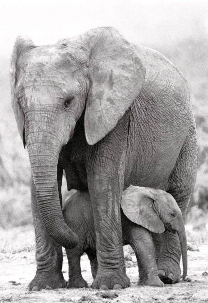Mother & Baby Elephant Poster, Elephants, African Wildlife, Mother Nature