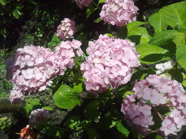 Розовые гортензии
