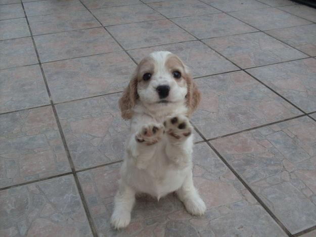 Spaniels, Pick me up and Too cute on Pinterest